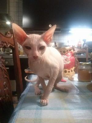 Sfinx Kissa Myydään