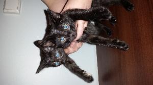 Siamilainen Kissa Hinta