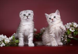 Kissanpennun Rokotus