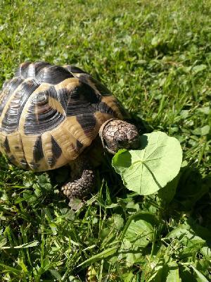 Kilpikonna Ikä