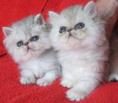 myydään kissanpentuja turku